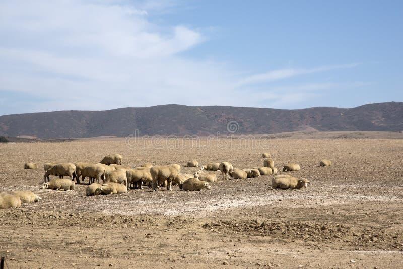 Os carneiros pastam na região de Swartland de África do Sul foto de stock royalty free