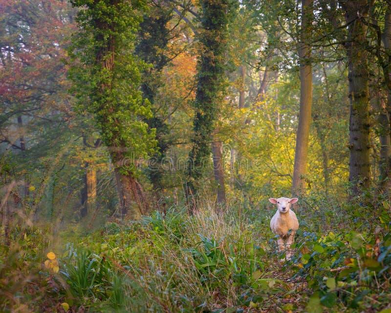 Os carneiros perderam nas madeiras em Cotswolds imagem de stock royalty free