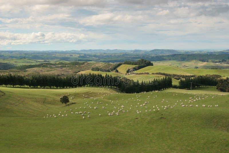 Os carneiros típicos pastam a paisagem do Islan norte imagem de stock royalty free