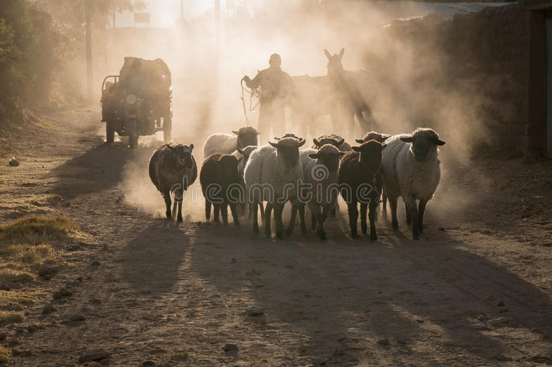 Os carneiros vão em casa foto de stock