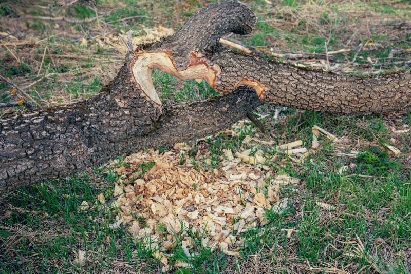Os castores mastigaram o tronco de uma árvore fotos de stock royalty free