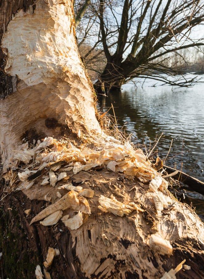 Os castores roeram um meio tronco de árvore no banco de rio foto de stock royalty free