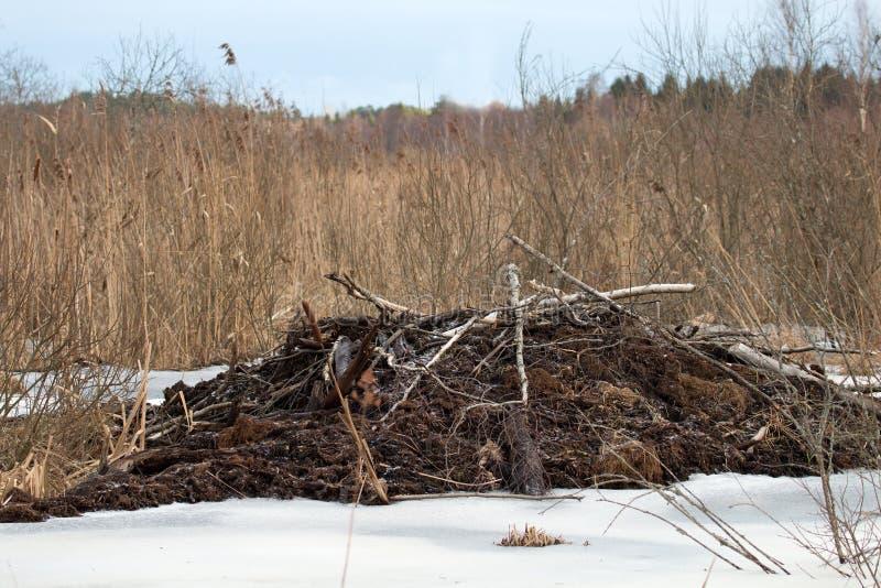 Os castores vivem sob o gelo no inverno, represa do castor fotos de stock