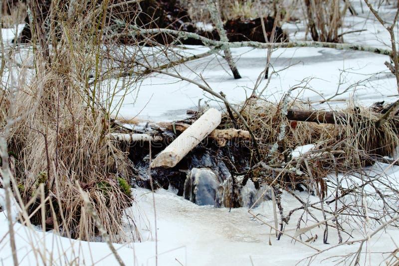 Os castores vivem sob o gelo no inverno, represa do castor imagens de stock