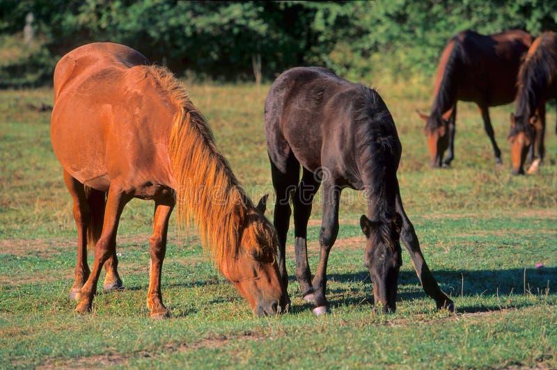 Os cavalos. imagens de stock royalty free