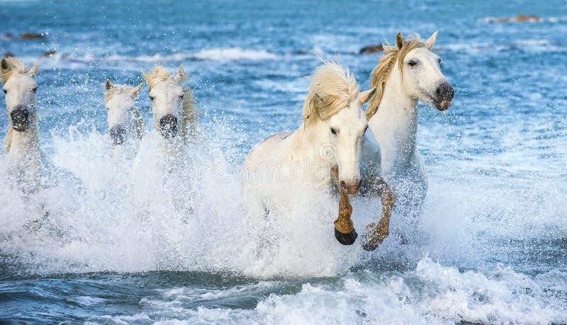 Os cavalos brancos que galopam no ½ е do 'Ð de Ñ molham fotografia de stock
