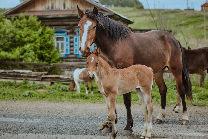 Os cavalos Brown fora cultivam bonito doméstico do close-up do campo imagem de stock