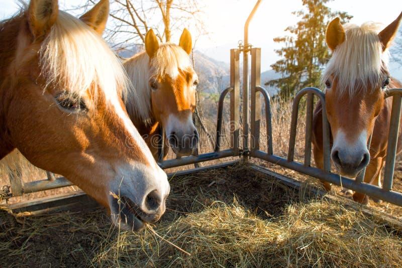 Os cavalos comem a grama imagem de stock royalty free