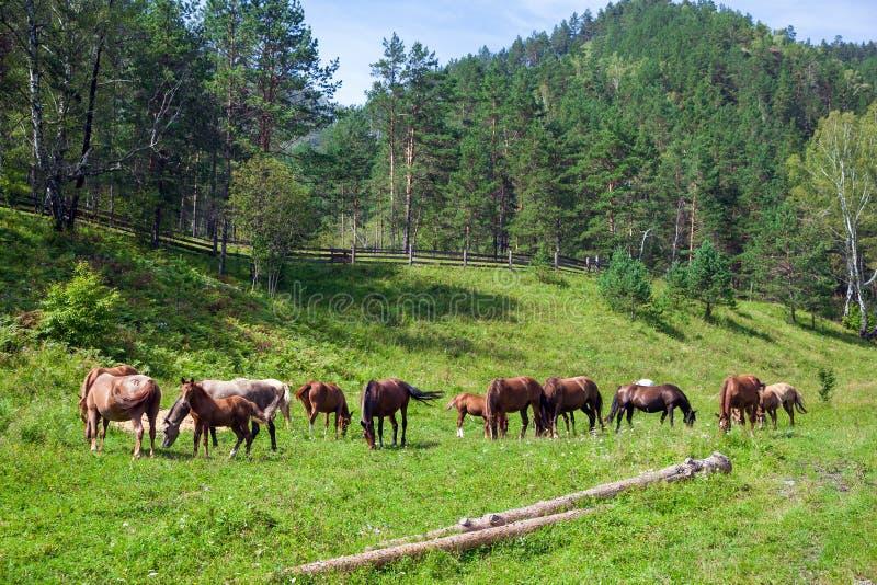 Os cavalos de Brown comem a grama em um dia de verão foto de stock royalty free