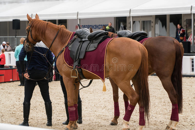 Os cavalos dos esportes estão na areia após a competição foto de stock