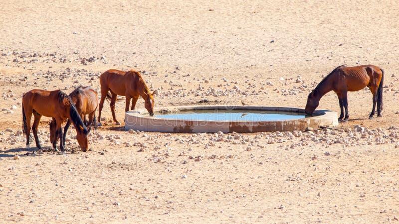 Os cavalos ferozes do deserto de Namib reunem no waterhole perto de Aus, Namíbia, África imagens de stock royalty free