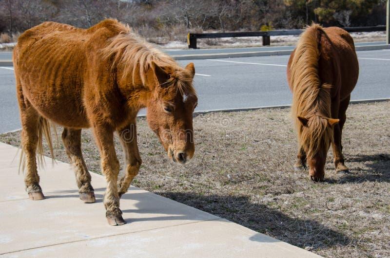 Os cavalos ferozes selvagens vagueiam e pastam em um parque de estacionamento na ilha Maryland de Assateague fotos de stock