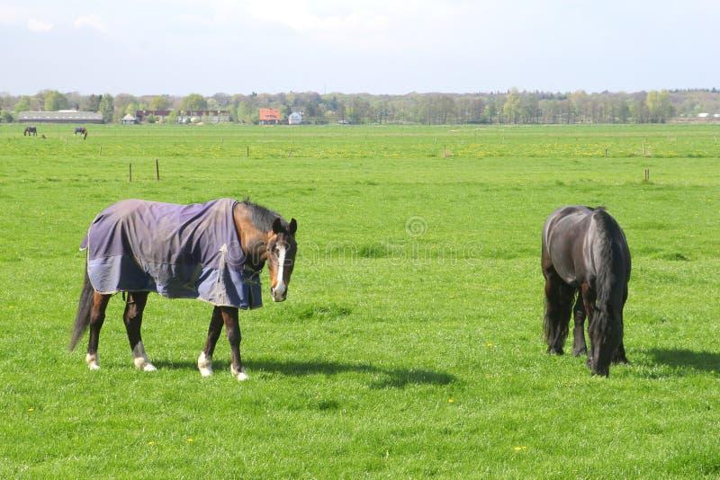 Os cavalos idosos descansam nos prados após uma vida do trabalho duro imagem de stock royalty free
