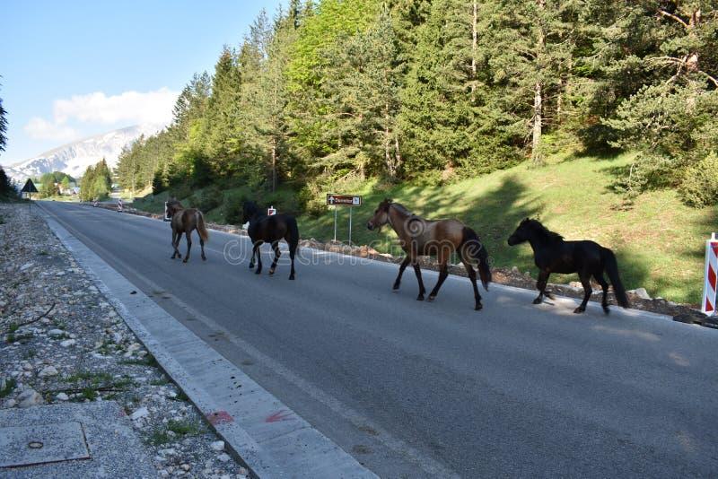 Os cavalos na estrada fotografia de stock
