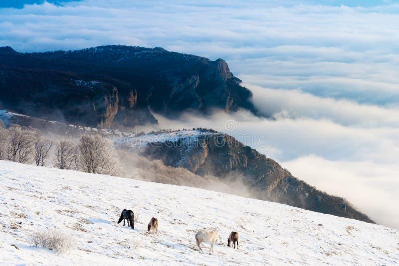 Os cavalos nas montanhas estão procurando o alimento sob a neve imagem de stock