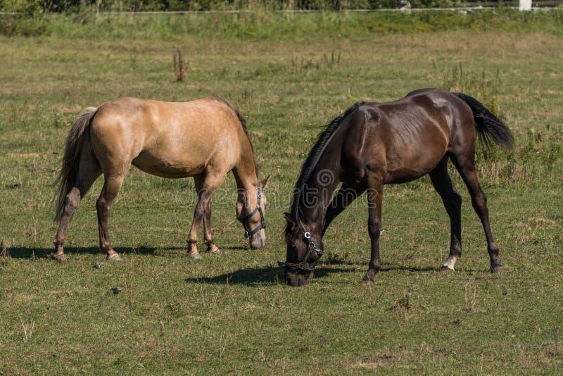 Os cavalos pastam e comem a grama em um prado verde na exploração agrícola fotografia de stock