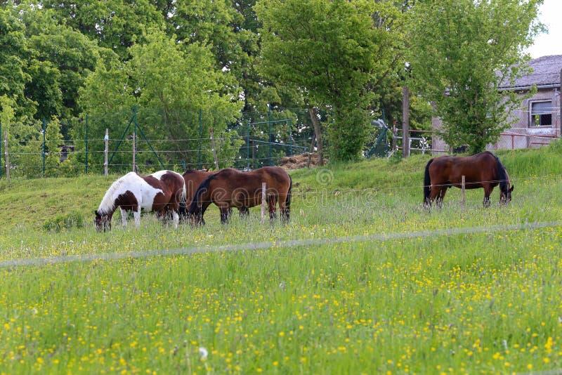 Os cavalos pastam em um prado perto da exploração agrícola fotos de stock