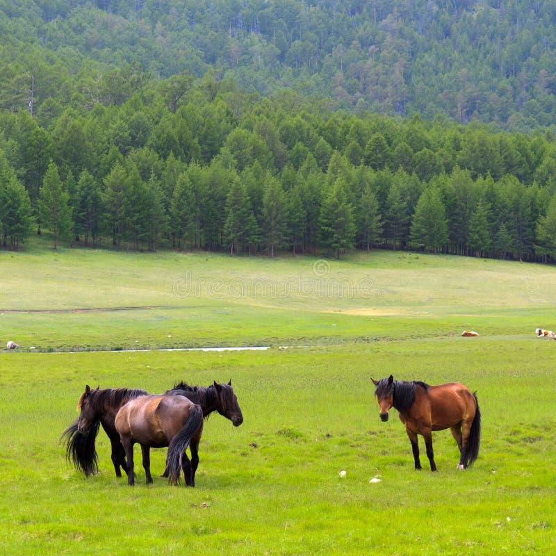 Download Cavalos na ilha Olkhon imagem de stock. Imagem de agricultural - 29829153