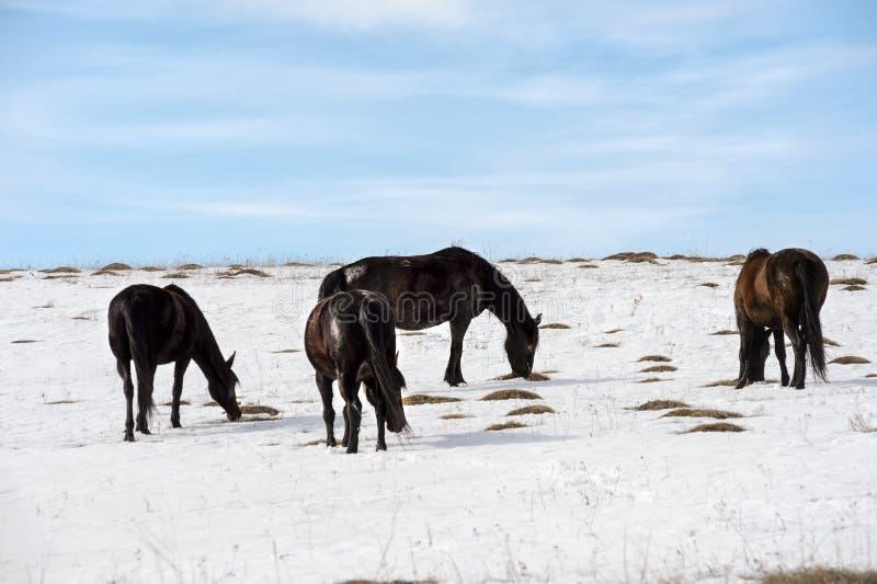 Os cavalos selvagens caucasianos pastam e fazem correria no pasto da montanha de Cáucaso do inverno contra um céu azul imagens de stock royalty free