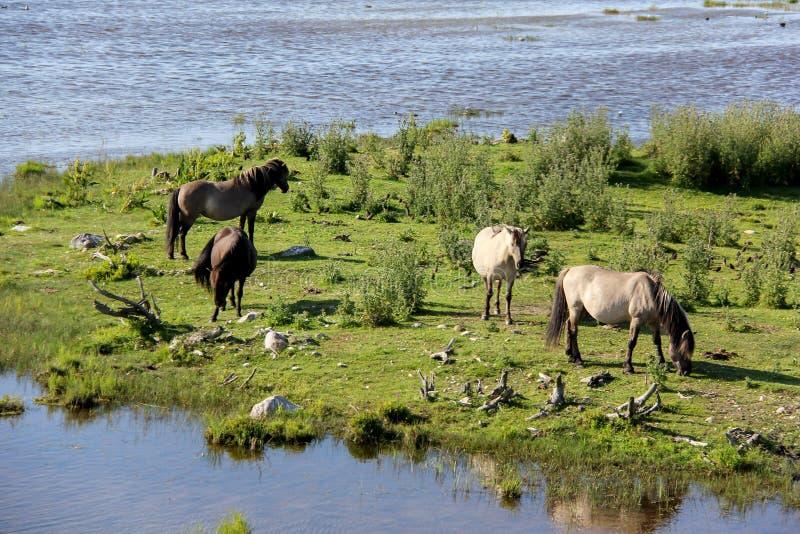 Os cavalos selvagens pastam e comem a grama no prado no lago, Letónia foto de stock royalty free