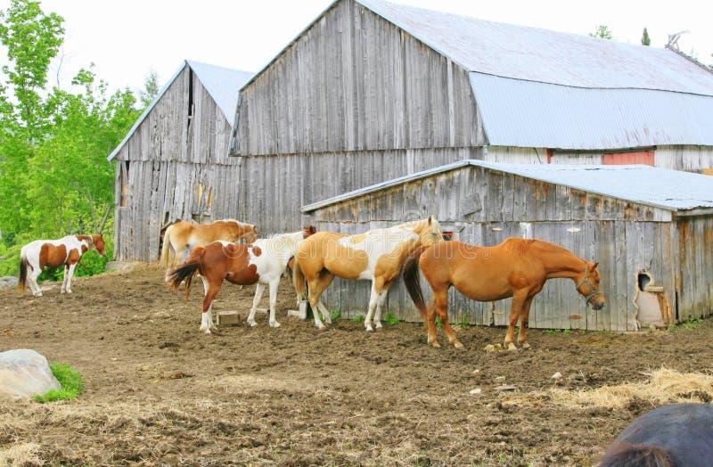 Os cavalos usam o celeiro em uma exploração agrícola como um pára-brisas imagem de stock royalty free