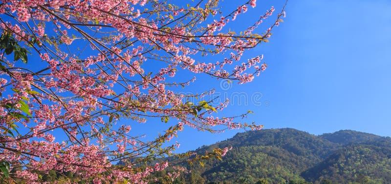 Os cerasoides Himalaias selvagens de Cherry Prunus ou a cereja ácida florescem ramos com fundo da montanha e do céu azul com espa fotos de stock