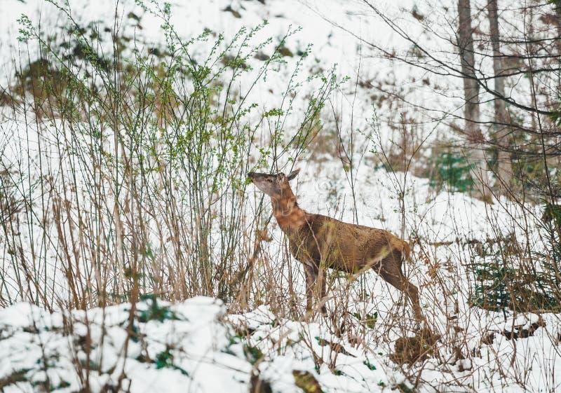 Os cervos com fome procuram o alimento em uma floresta no inverno imagens de stock royalty free