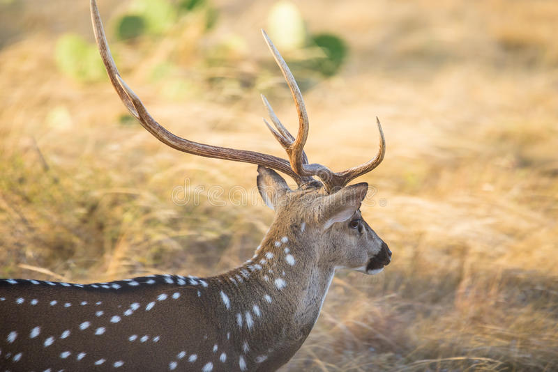 Os cervos da linha central fecham-se acima foto de stock royalty free