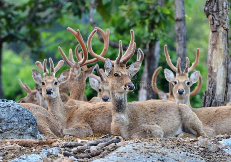 Os cervos de Eld imagem de stock royalty free