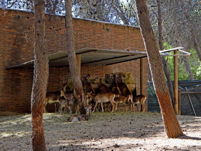 Os cervos e os cervos recolheram em seu abrigo para o alimento imagens de stock royalty free
