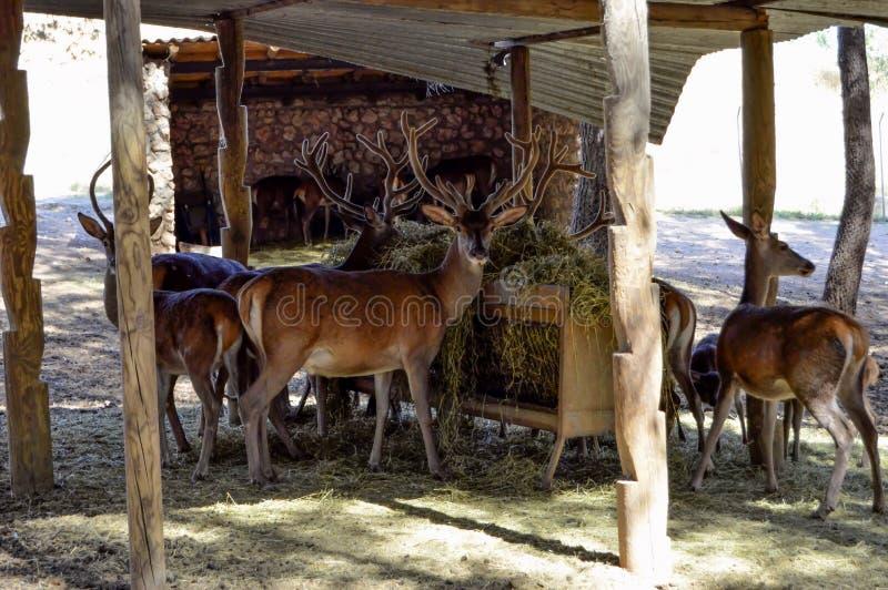 Os cervos e os cervos recolheram em seu abrigo para o alimento fotografia de stock