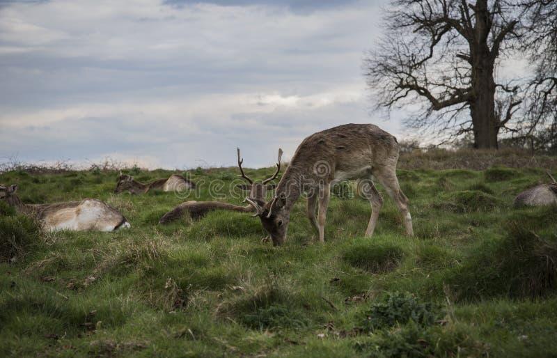 Download Os Cervos Estão Indo Dormir Imagem de Stock - Imagem de londres, sono: 80100493