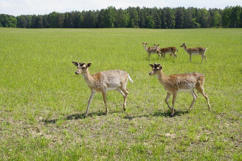 Os cervos manchados pastam no campo Mola possa Dia ensolarado Animais selvagens Hoofed e horned imagem de stock royalty free