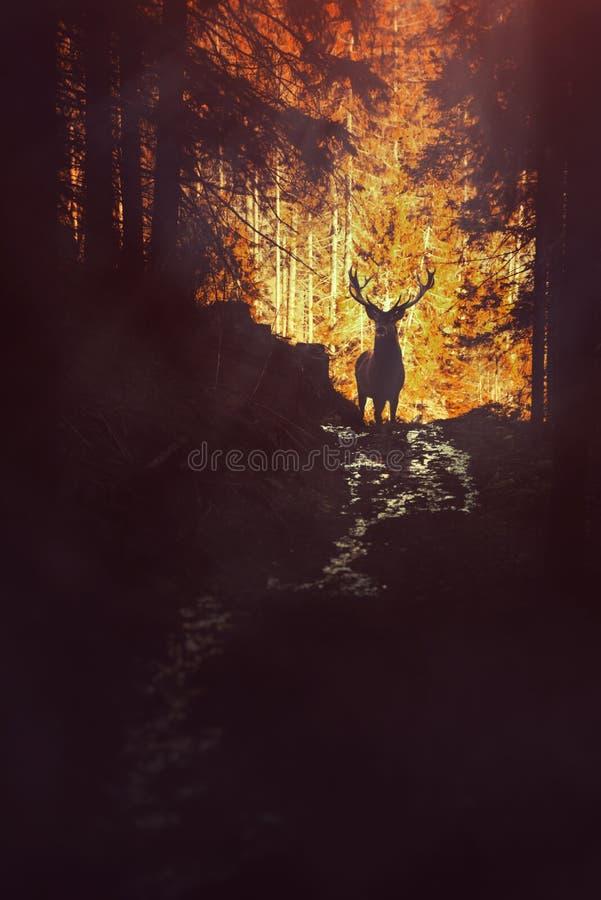 Os cervos mostram em silhueta na floresta, animais selvagens imagem de stock royalty free