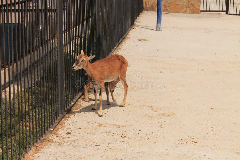 Os cervos no jardim zoológico fotografia de stock royalty free