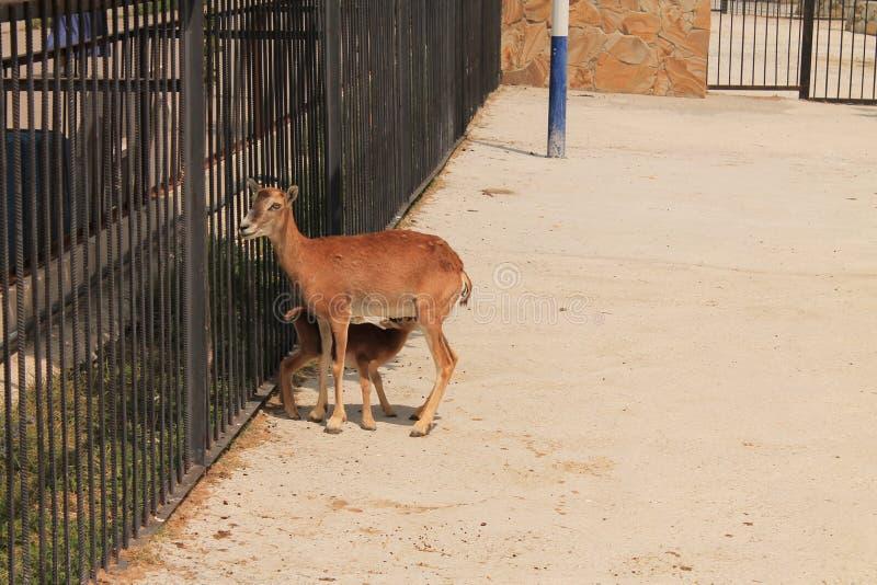 Os cervos no jardim zoológico fotos de stock royalty free