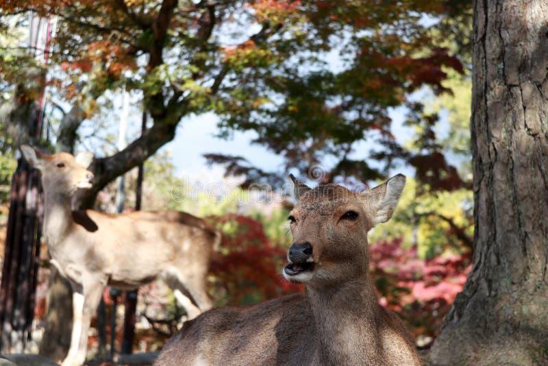 Os cervos que estabelecem no assoalho e focalizam para fora os cervos que estão na árvore do outono do fundo no parque em Nara, J fotografia de stock