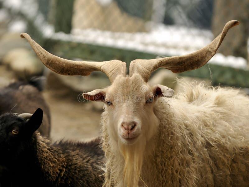 Os chifres da cabra são longos e bonitos imagens de stock