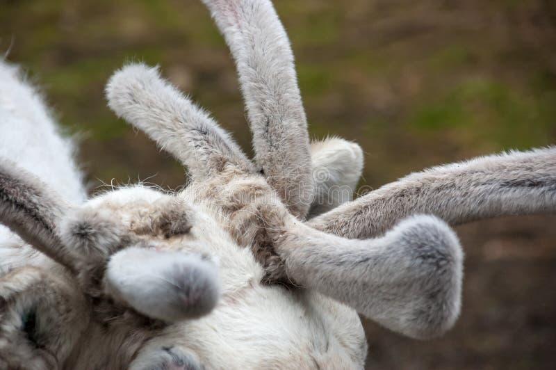 Os chifres da rena são cobertos no cabelo macio, delicado, Fi do norte imagem de stock royalty free