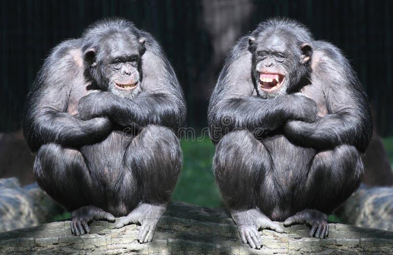 Os chimpanzés.