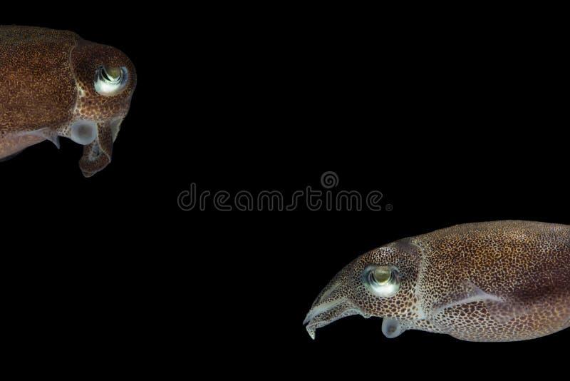 Os chocos ou os cuttles são animais marinhos dos wi de Sepiida da ordem foto de stock royalty free