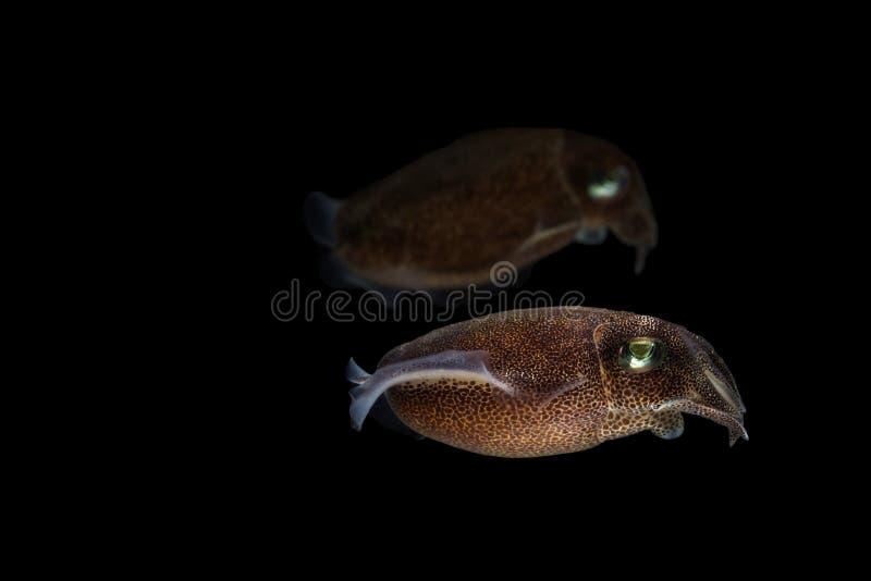 Os chocos ou os cuttles são animais marinhos dos wi de Sepiida da ordem foto de stock