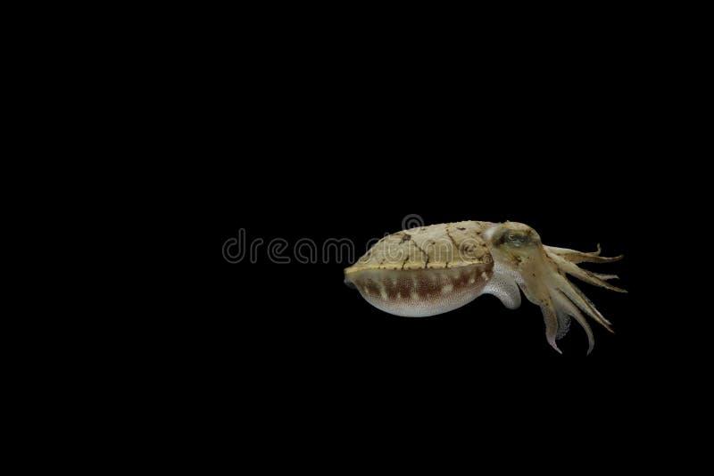 Os chocos ou os cuttles são animais marinhos dos wi de Sepiida da ordem fotos de stock royalty free