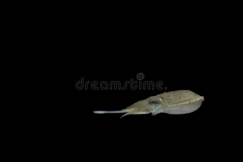 Os chocos ou os cuttles são animais marinhos dos wi de Sepiida da ordem fotografia de stock