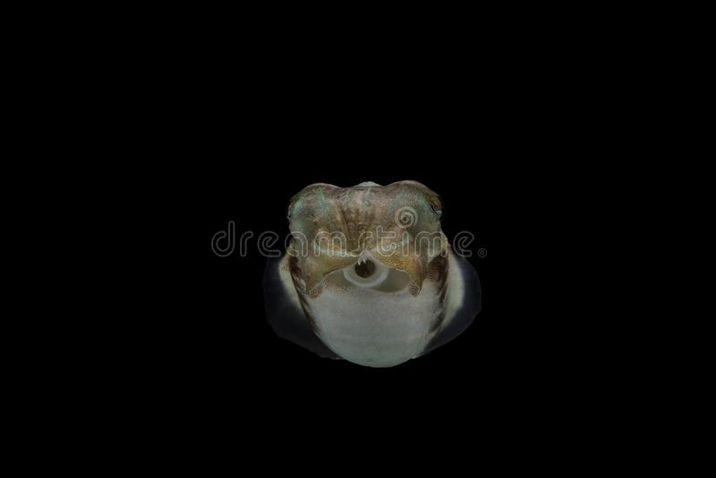 Os chocos ou os cuttles são animais marinhos dos wi de Sepiida da ordem fotos de stock