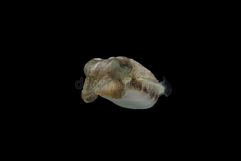 Os chocos ou os cuttles são animais marinhos dos wi de Sepiida da ordem imagem de stock