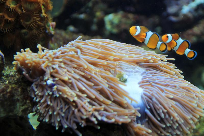 Os clownfish dos ocellaris imagem de stock royalty free