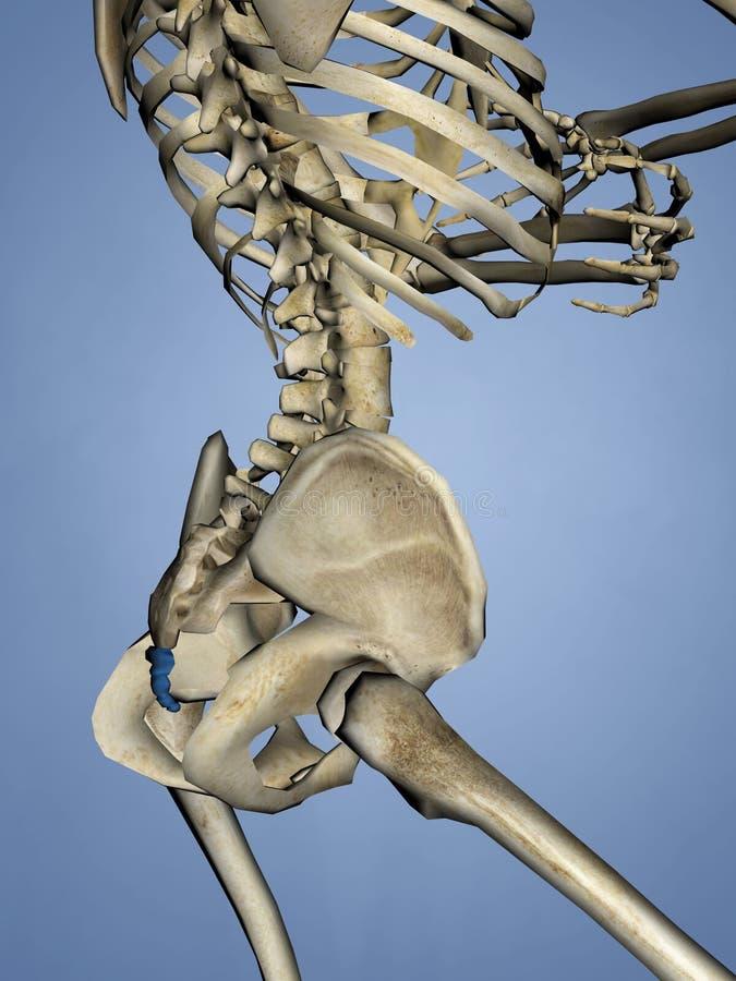 Os coccygis, 3D model ilustracji