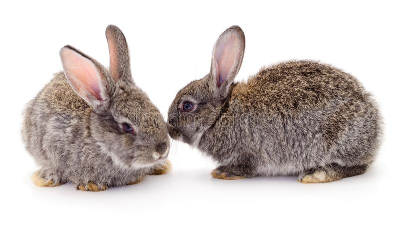 Os coelhos cinzentos isolaram-se fotografia de stock