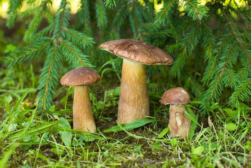 Os cogumelos comestíveis de Porcini crescem sob o abeto na floresta conífera imagem de stock royalty free